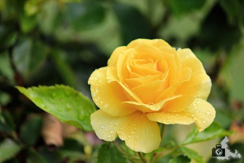 San José - Municipal Rose Garden - Rose