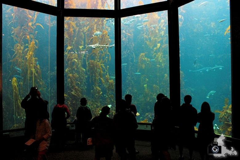 Monterey Bay Aquarium - Seetang Becken