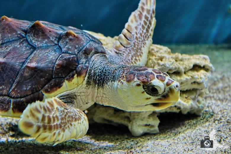 Monterey Bay Aquarium - Schildkröte