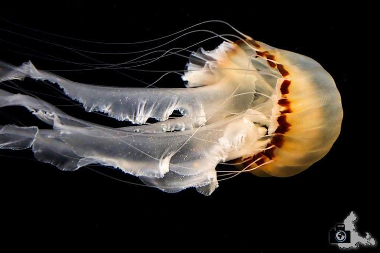 Monterey Bay Aquarium - Qualle