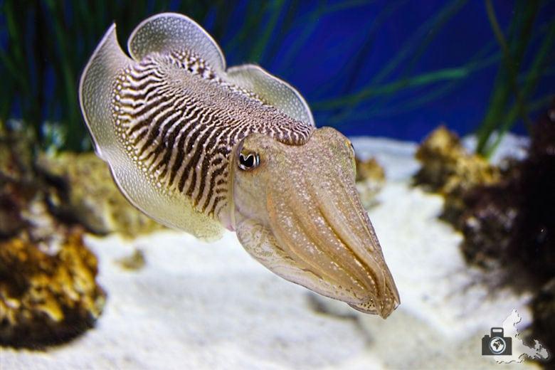 Monterey Bay Aquarium - Tintenfisch
