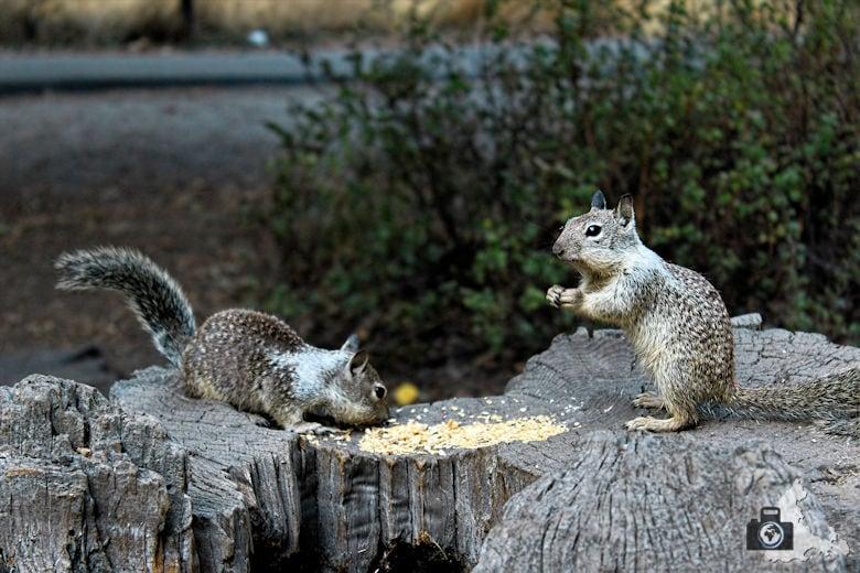 Yosemite Nationalpark - Squirrels