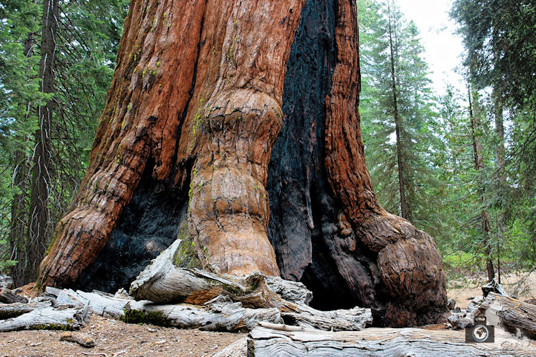 Yosemite Nationalpark - Sequoia Mammutbaum im Mariposa Grove