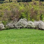 Wanderung durch die Kirschblüte bei Obereggenen