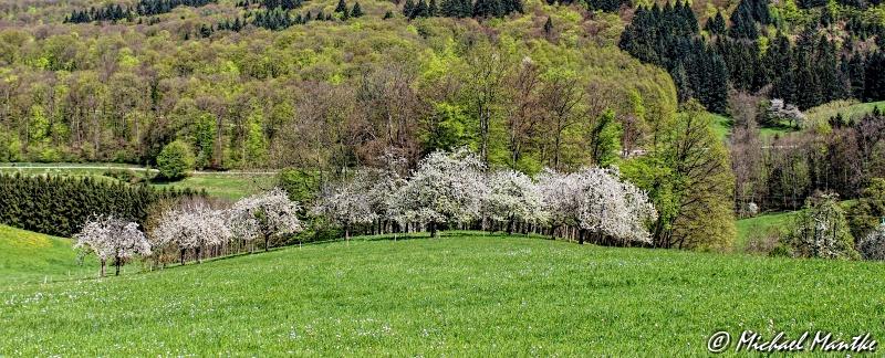 Kirschblüte_Obereggenen_F