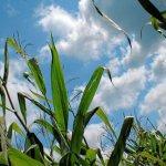 Spannendes Rätselraten im Maislabyrinth Opfingen