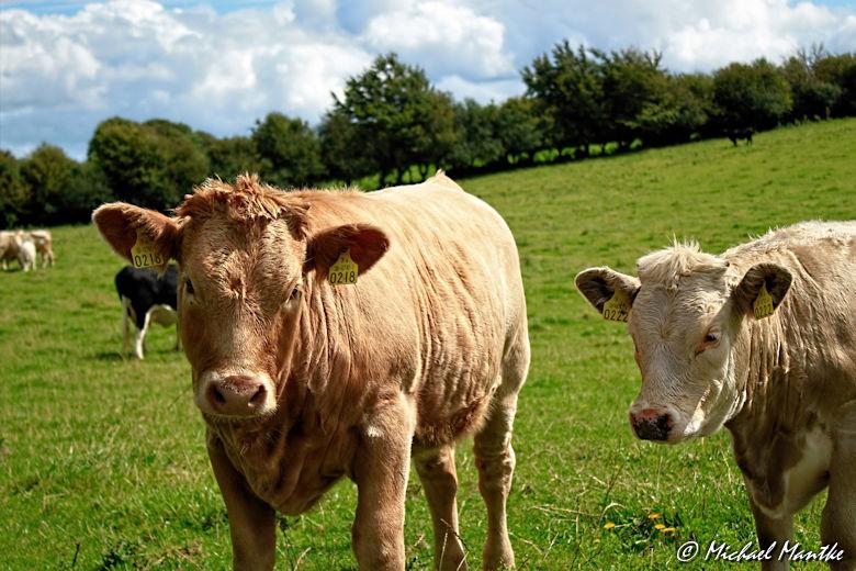 Kühe auf einer Weide bei Clonmacnoise