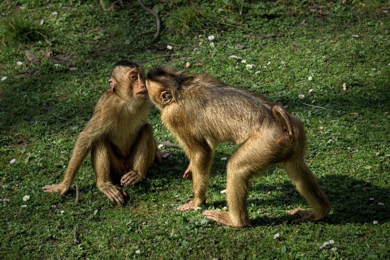 Fotobearbeitung Zwei Affen im Zoo