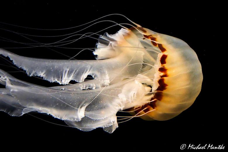 Unterwasserwelten - Qualle im Aquarium