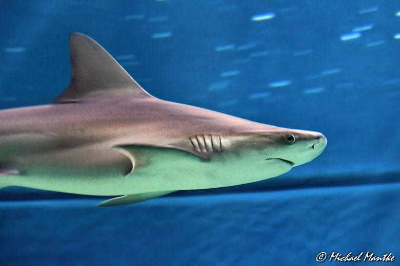 Unterwasserwelten - Hai im Haifischbecken