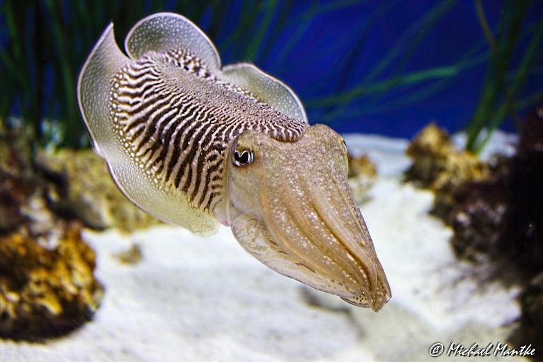 Unterwasserwelten - Tintenfisch