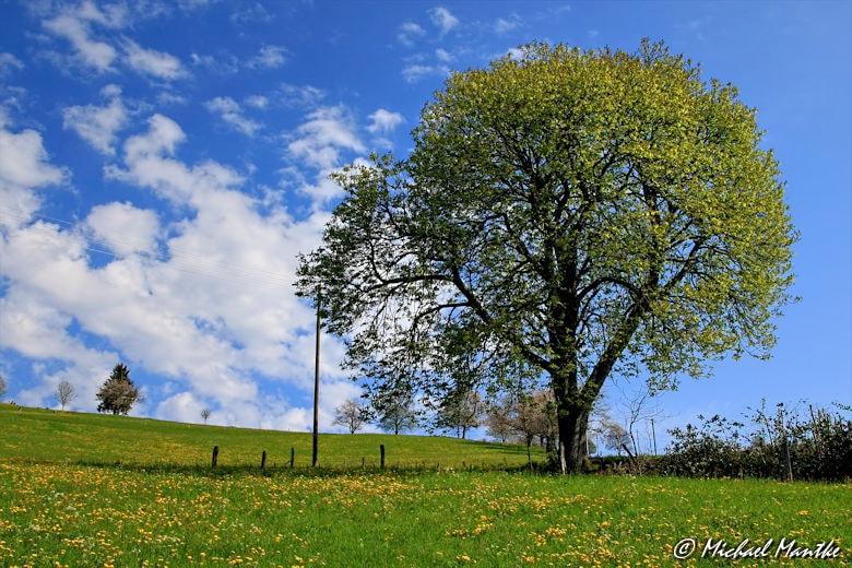 Panoramaweg St. Märgen - Baum auf Wiese