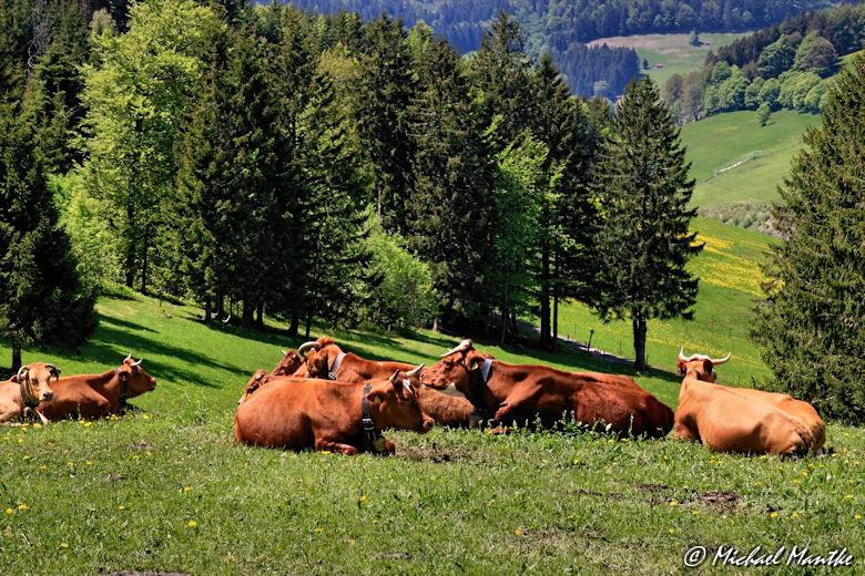 Martin Heidegger Rundwanderweg bei Todtnauberg - Kühe im Südschwarzwald