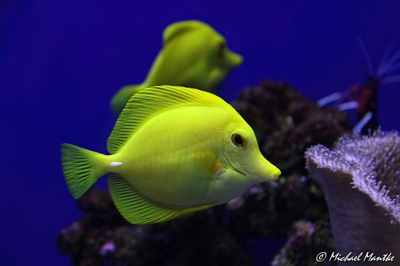 Unterwasserwelten - gelber Fisch