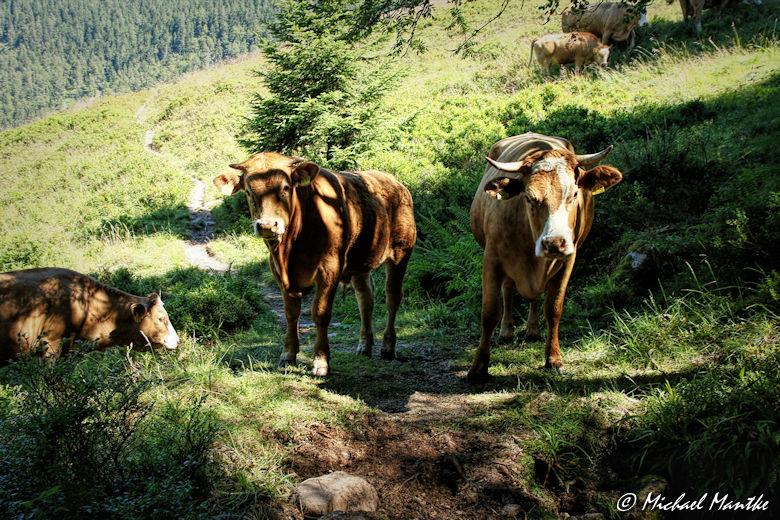 Menzenschwand Geissenpfad Kühe auf Wanderweg