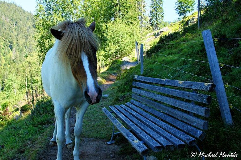 Menzenschwand Geissenpfad Pferd auf Wanderweg
