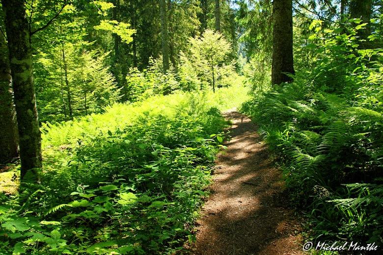 Menzenschwand Geissenpfad Waldweg mit Farnen