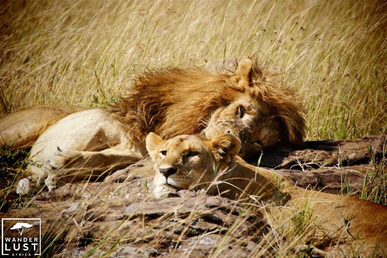 Wanderlust Africa Löwen