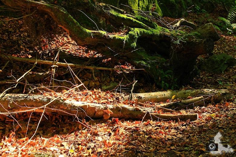 Rundwanderweg St. Trudpert im Münstertal - Unterholz und Laub im Herbst