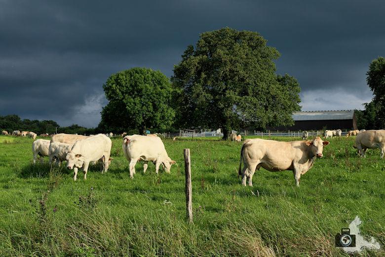 Kühe vor Gewitterhimmel bei Soy in den Ardennen