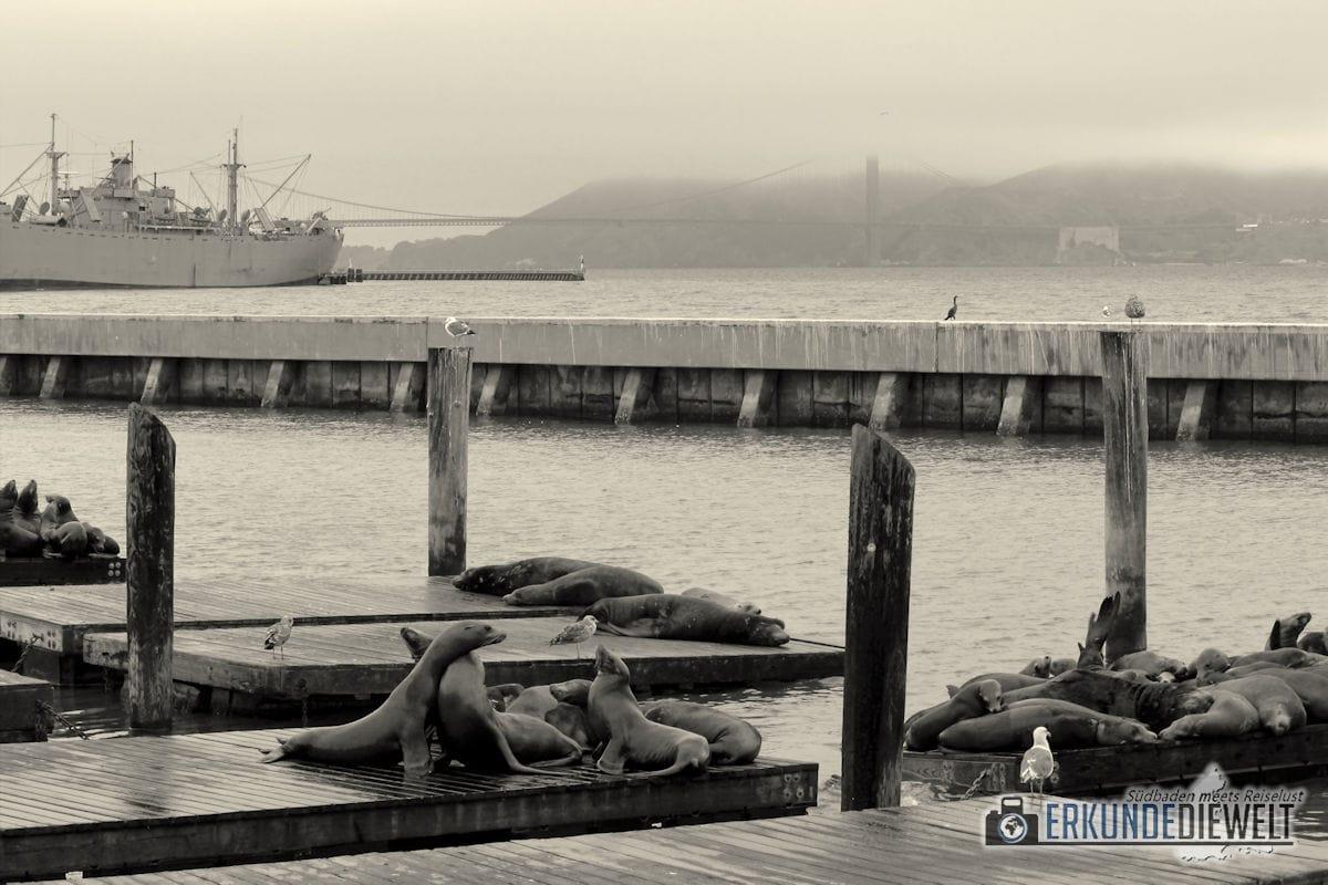 Robben am Pier 39, San Francisco, Kalifornien, USA