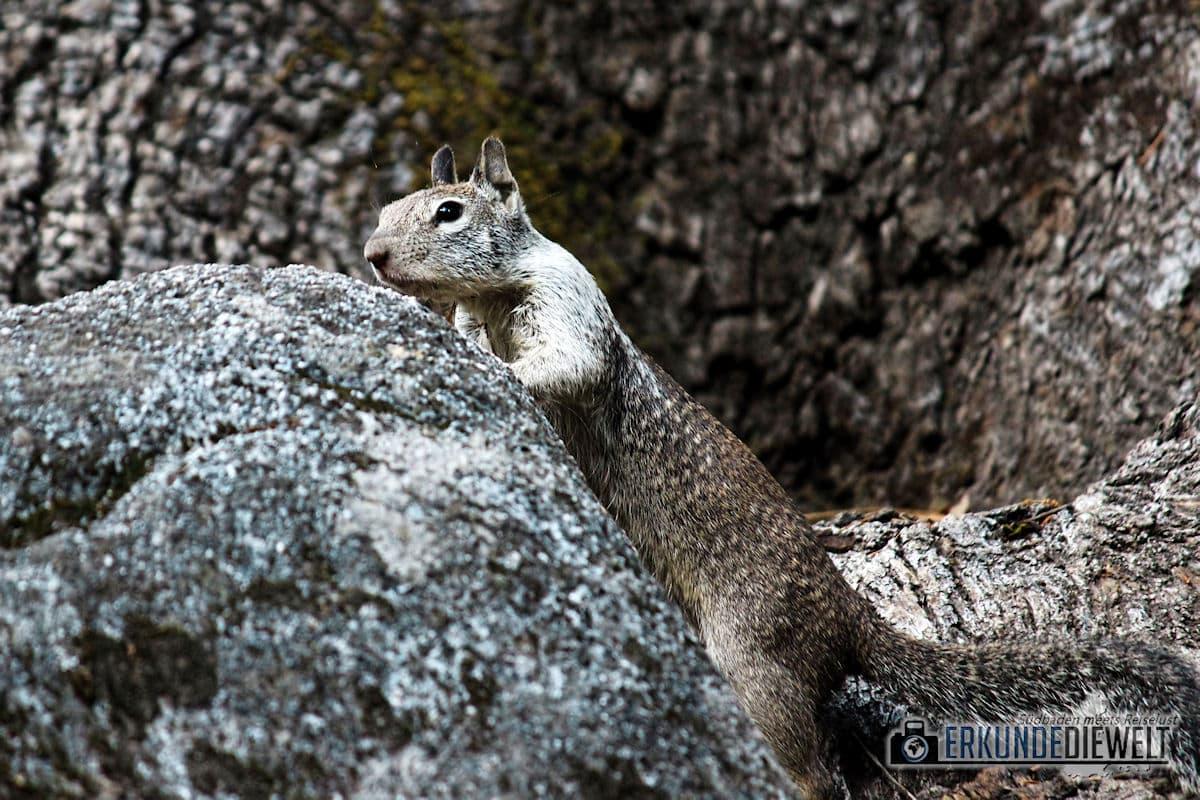 Squirrel, Yosemite Nationalpark, Kalifornien, USA