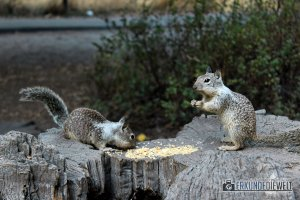 Squirrels, Yosemite Nationalpark, Kalifornien, USA