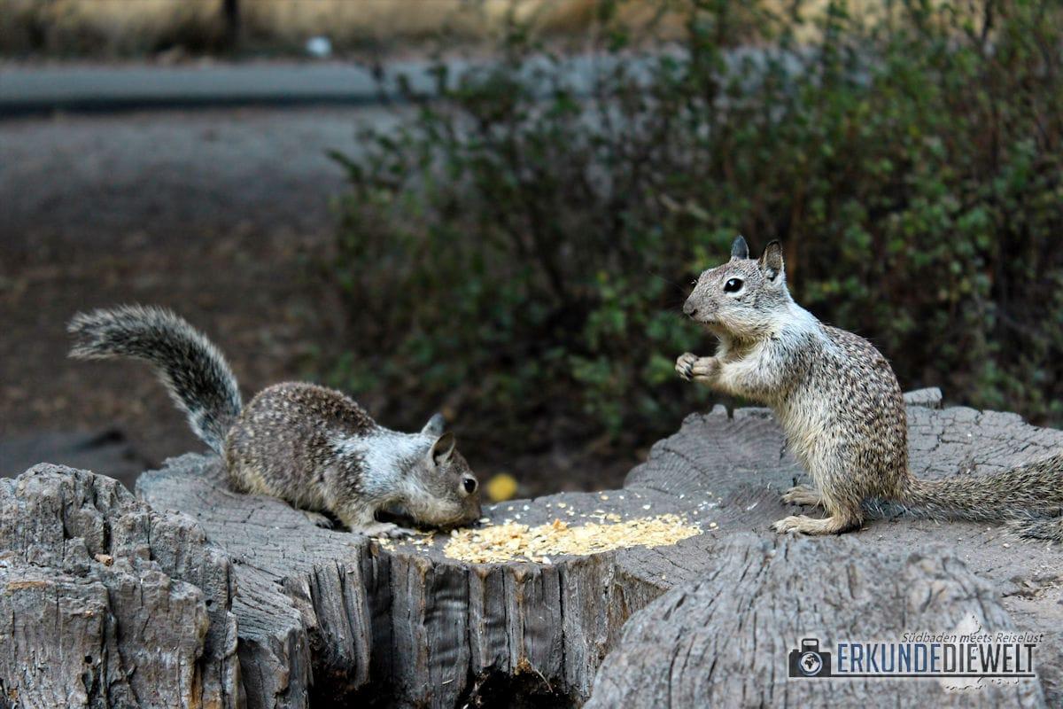 Squirrels, Yosemite Nationalpark, Kalifornien, USA