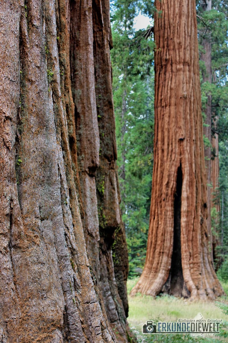 Sequoias, Yosemite Nationalpark, Kalifornien, USA