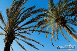 15spa0022-tenerife-palms