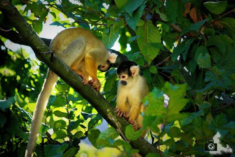 Fotoparade 2-2016 Tierisch - Affen im Zoo Antwerpen
