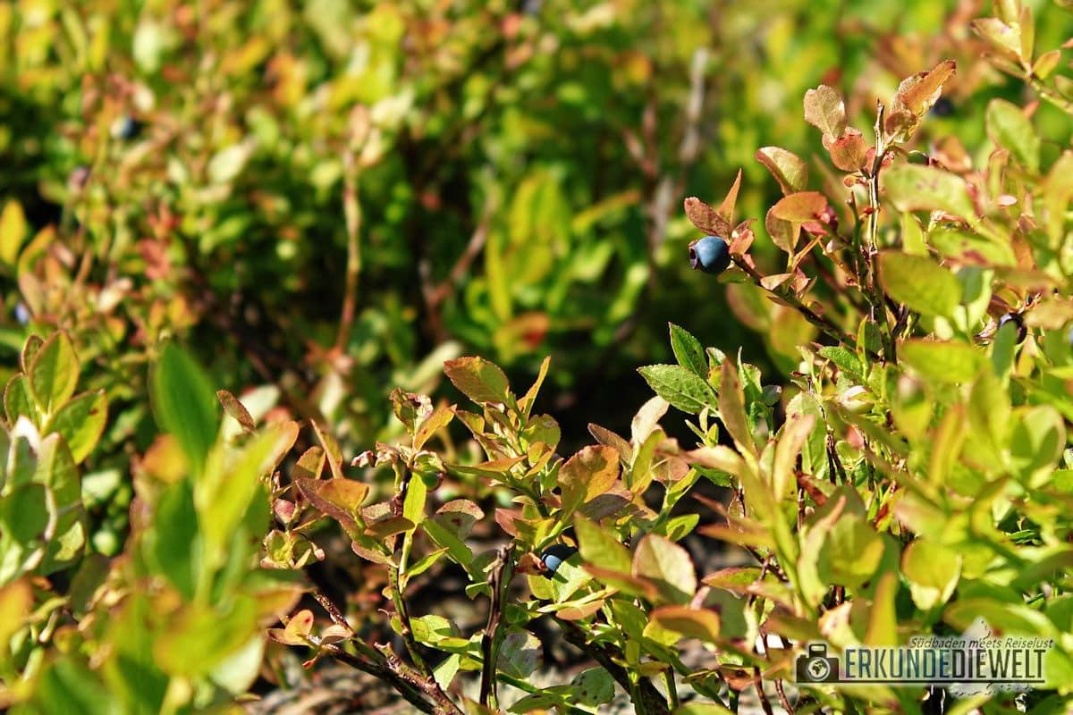 Heidelbeere, Nationalpark Schwarzwald, Deutschland