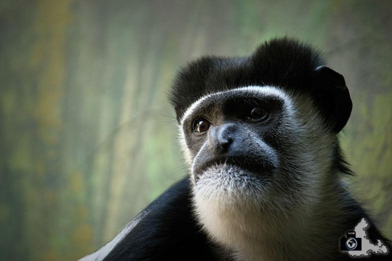 Affe im Zoo Antwerpen, Belgien