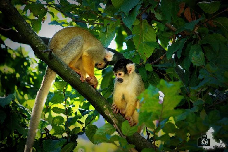 Affen im Zoo Antwerpen, Belgien