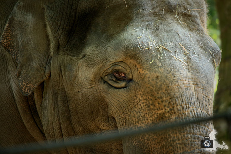 Elefant im Zoo Antwerpen, Belgien