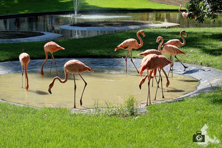 Flamingos im Zoo Antwerpen, Belgien