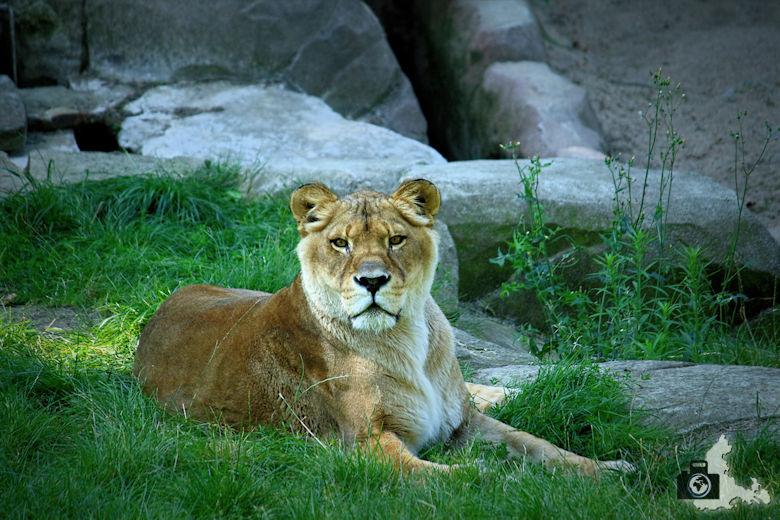 Raubkatze im Zoo Antwerpen, Belgien