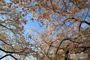 Kirschblütenzeit am Seepark in Freiburg