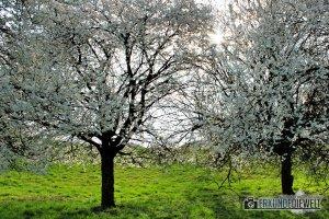 Kirschblüte, Markgräflerland, Südbaden, Deutschland