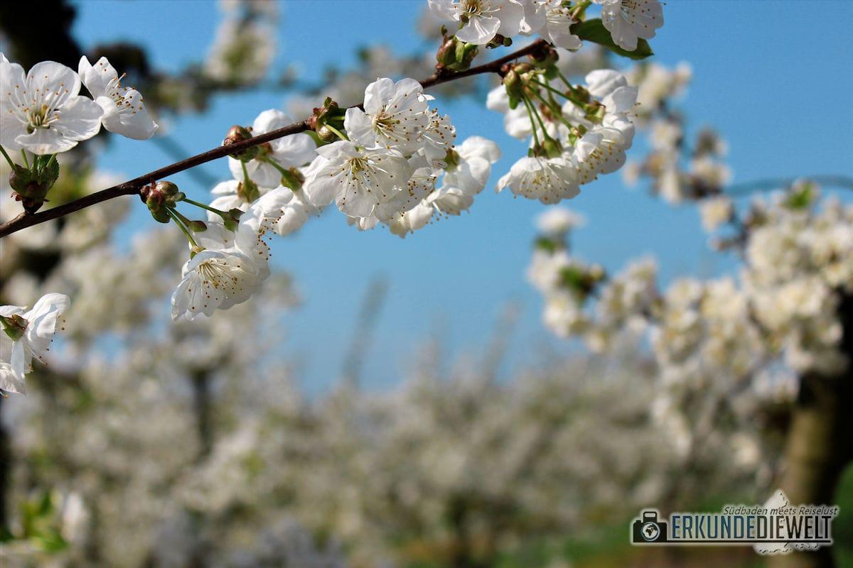 Kirschblüte, Kaiserstuhl, Südbaden, Deutschland