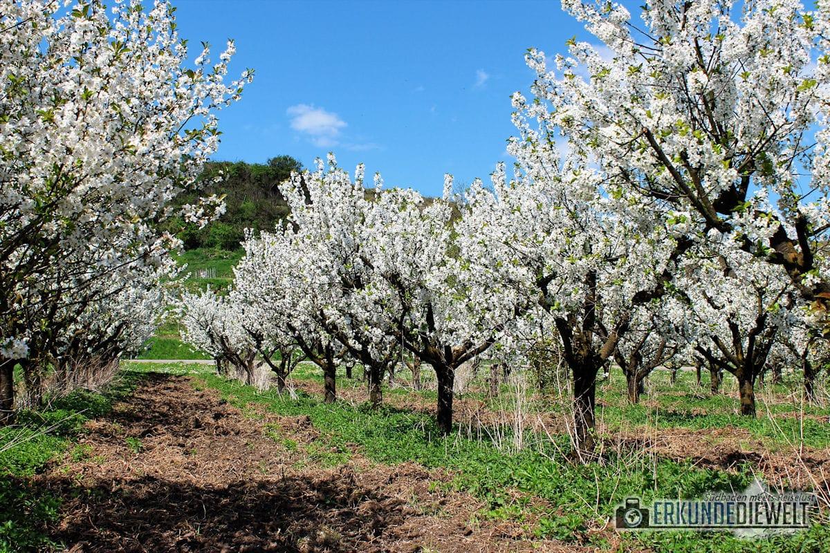Kirschblüte in Südbaden, Deutschland