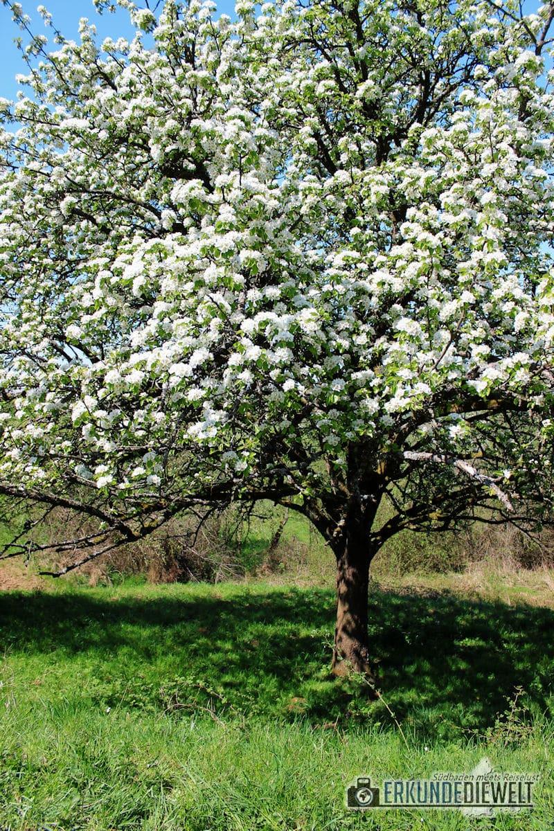 Kirschblüte in Südbaden, Markgräflerland, Deutschland