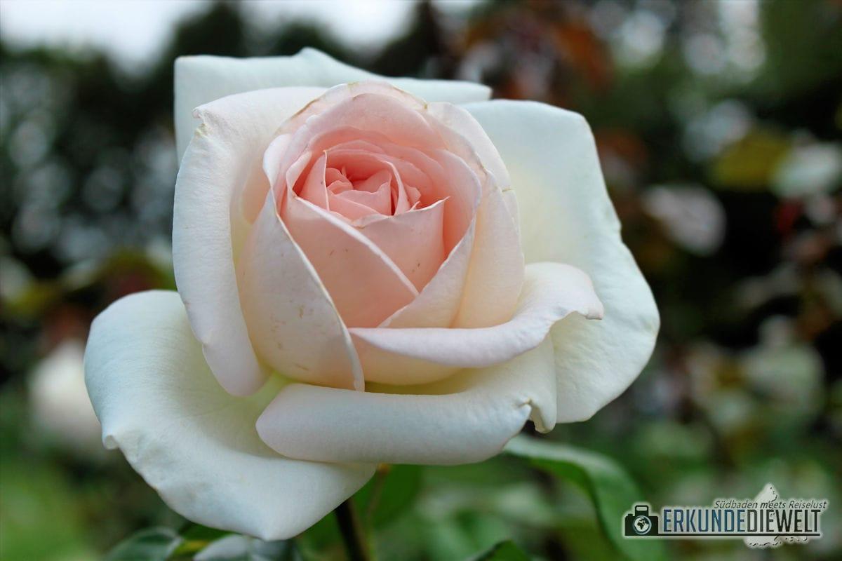 Rose, Deutschland