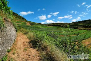 Reben und Weinberge im Kaiserstuhl im Spätsommer
