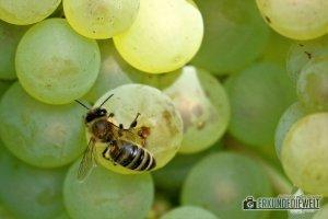 Herbst Impressionen am Weinberg - Helle Trauben mit Biene