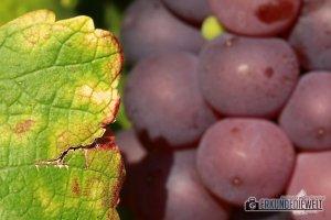 Herbst Impressionen am Weinberg - Blaue Trauben