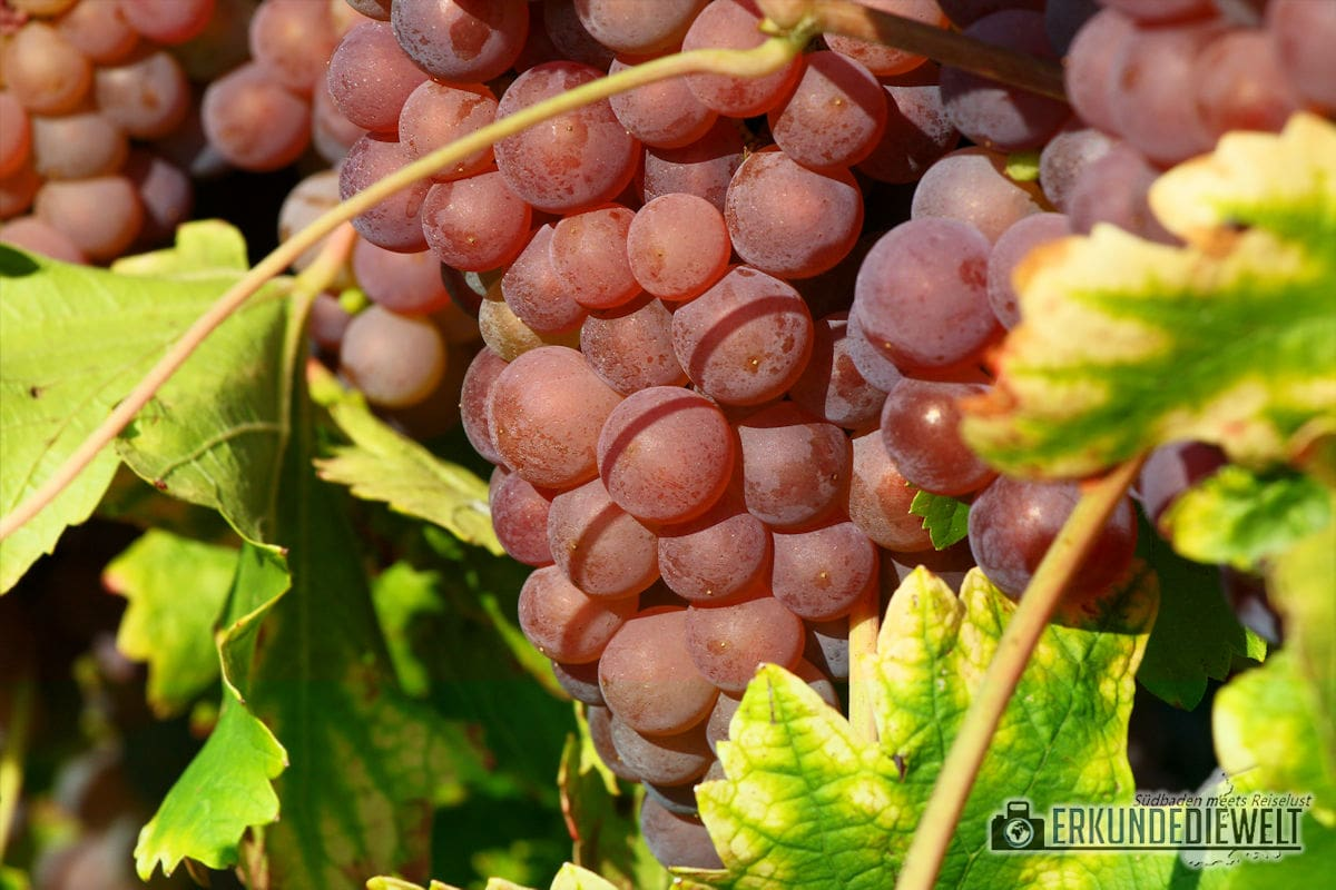 Herbst Impressionen am Weinberg - Rote Trauben