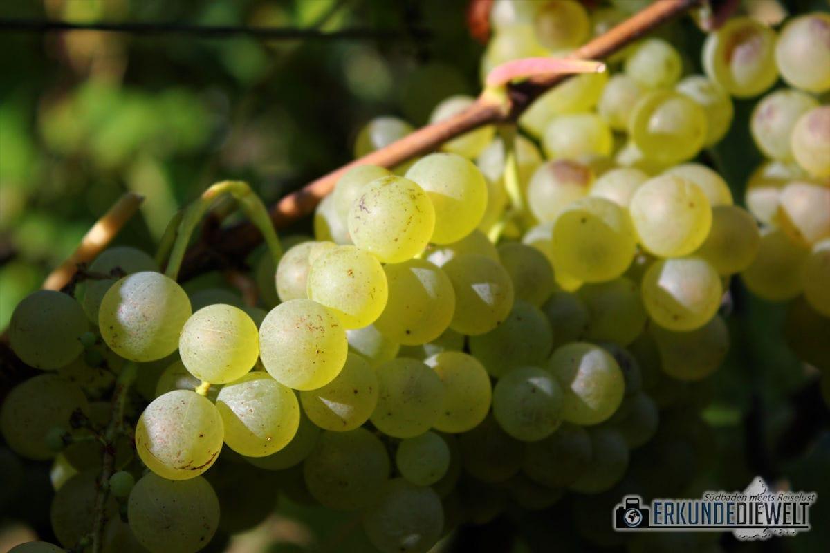 Herbst Impressionen am Weinberg - Helle Trauben