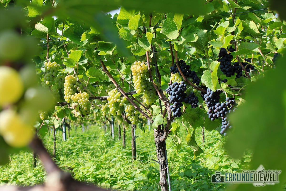 Herbst Impressionen am Weinberg - Gemischte Trauben
