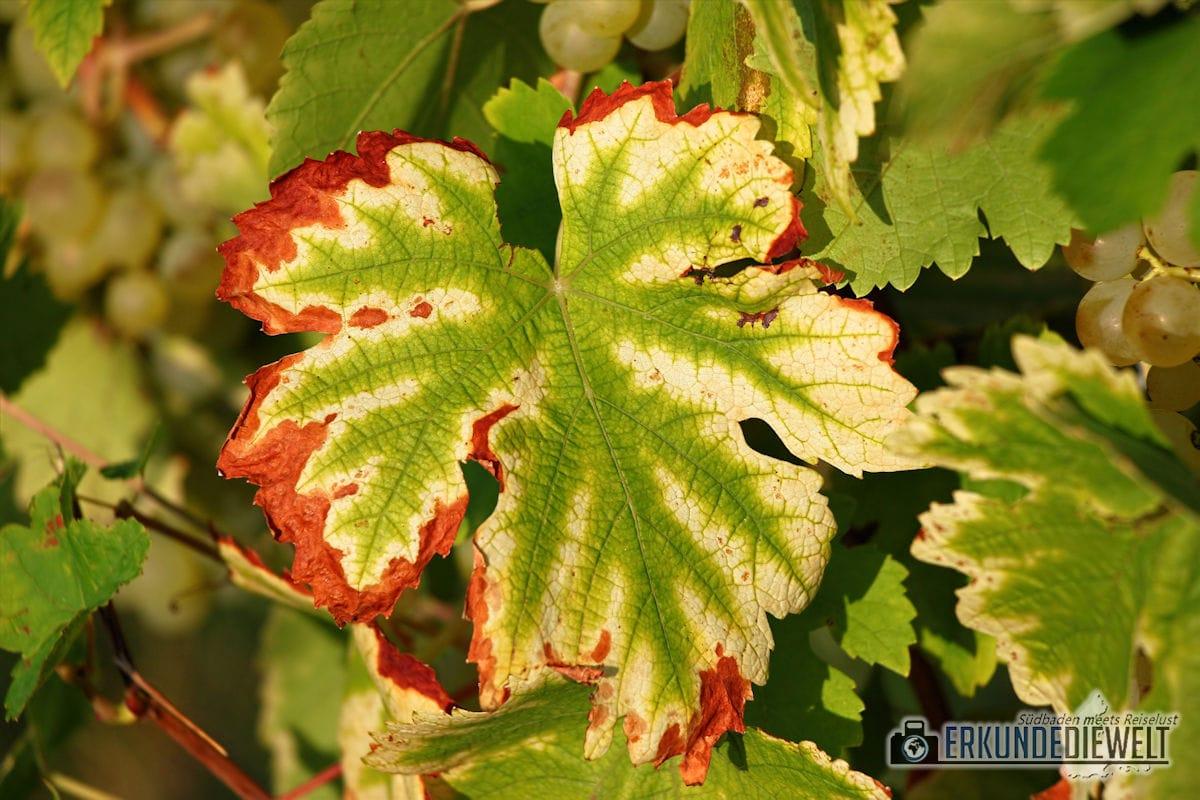 Herbst Impressionen am Weinberg - Weinblätter